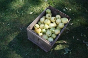 1920-apples