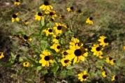 1920-ox-eye-daisies