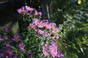 1920-purple-asters