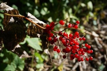 1920-red-berries