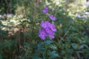 1920-wildflowers-purple